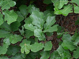 <i>Quercus ilicifolia</i> small shrubby oak