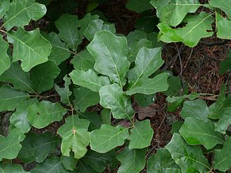 Quercus ilicifolia - Quercus ilicifolia on North Fork Mountain, West Virginia, USA.