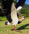 Quero-Quero bird.jpg