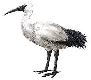 Réunion ibis - Hypothetical restoration based on contemporary descriptions, subfossil remains, and extant relatives
