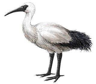 Réunion ibis An extinct bird that was endemic to Réunion