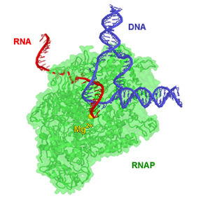 RNA polymerase - RNAP from T. aquaticus pictured during elongation. Portions of the enzyme were made transparent so as to make the path of RNA and DNA more clear. The magnesium ion (yellow) is located at the enzyme active site.