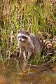 Racoon in Nisqually National Wildlife Refuge.jpg