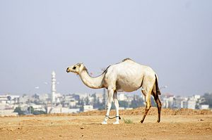 Rahat - A camel with Rahat in the background