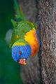 Rainbow Lorikeet (Trichoglossus moluccanus) (9935560515).jpg