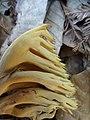 Ramaria concolor 847629.jpg