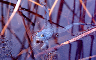 Moor frog - The male can be coloured blue for a small period of two or three days a year.