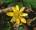 Ranunculus ficaria jfg.jpg