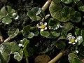 Ranunculus hederaceus 2.jpg