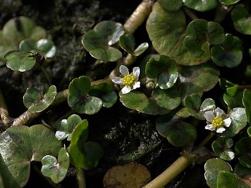 Ranunculus hederaceus 2