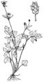 Ranunculus hispidus NRCS-3.png
