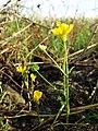 Ranunculus sardous subsp. sardous sl25.jpg