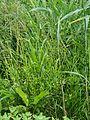 Ranunculus sceleratus Jaskier jadowity 2017-06-16 14.jpg