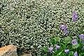 Raoulia australis 1.jpg