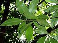 Rapanea melanophloeos, blare, c, Manie van der Schijff BT.jpg
