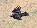 Raven 3 (3304068747).jpg