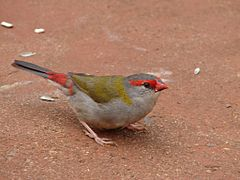 Red-Browed Firetail taking off.jpg