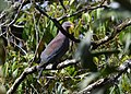 Red-billed Pigeon (25059625191).jpg