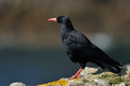 Red-billed chough.png