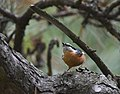 Red-breasted Nuthatch (30268249467).jpg