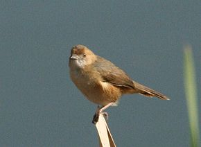 Description de l'image Red-faced Cisticola (Cisticola erythrops).jpg.