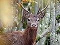 Red Deer, Vercors, France (33934974475).jpg