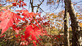 Red Maple (22409759025).jpg