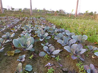 Red cabbage - Red cabbage plantation on a farm