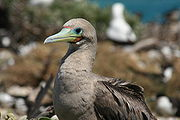 Brown-morph Red-footed Booby. Those on Kiritimati will reuse nests for several years, unlike in most other colonies.