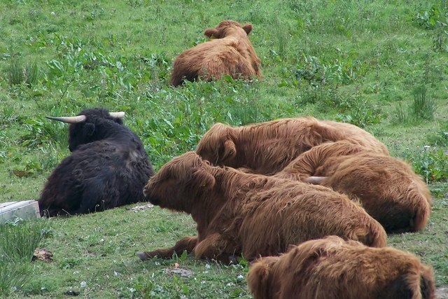 Red poll cattle at Old Moor ^ - geograph.org.uk - 717909