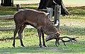 Red stag spraying in Bushy Park (30185346237).jpg
