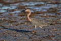 Reddish egret bunche beach early morn (31924595926).jpg