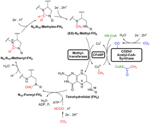 Organism - The LUCA used the Wood–Ljungdahl or reductive acetyl–CoA pathway to fix carbon.