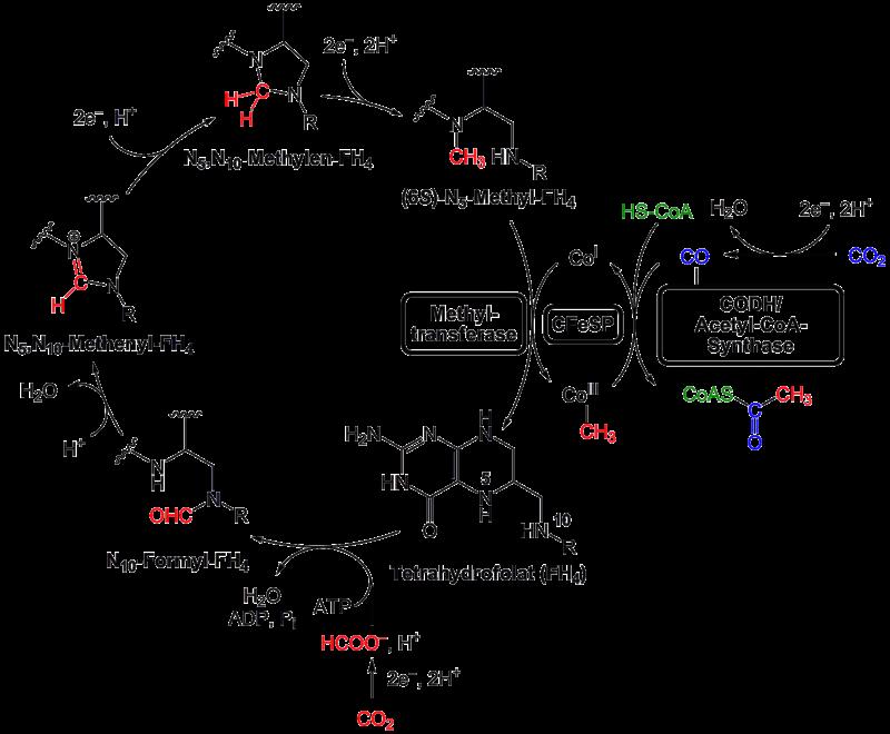 Reduktiver Acetyl-CoA-Weg.png