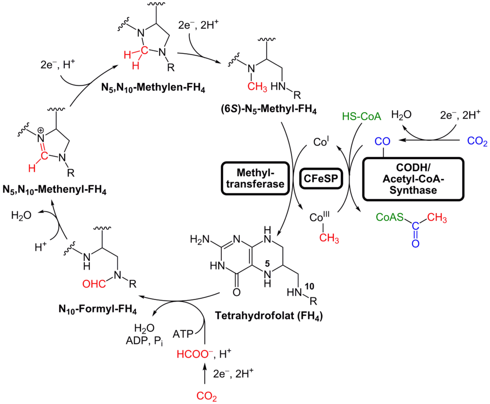 Reduktiver Acetyl-CoA-Weg