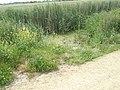 Reeds by Barnham Rife - geograph.org.uk - 844601.jpg