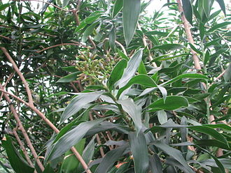 Dracaena reflexa - Specimen at North Carolina Zoo