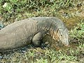 Reptile Water Monitor Varanus P1110507 15.jpg