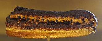 Rhamphosuchus - Rhamphosuchus crassidens jaws