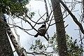 Rhipidura leucophrys (24283410599).jpg