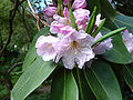 Rhododendron fortunei1UME.jpg