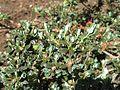 Rhododendron impeditum 02.JPG