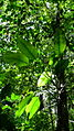 Rhodospatha latifolia Poepp. (8985079507).jpg