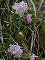 Rhodothamnus chamaecistus Tscheppaschlucht.jpg
