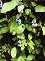 Rhynchoglossum obliquum 17.JPG