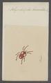 Rhyncholophus - Print - Iconographia Zoologica - Special Collections University of Amsterdam - UBAINV0274 071 02 0002.tif