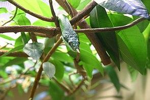 Spitznasennatter (Rhynchophis boulengeri)