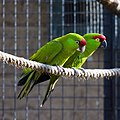 Rhynchopsitta pachyrhyncha -Twycross Zoo-8-3c.jpg