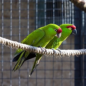 Thick-billed parrot - Juvenile (pale bill) and adult (dark bill) at Twycross Zoo, England