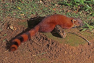 Ring-tailed vontsira species of mammal